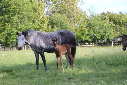Briosa with foal
